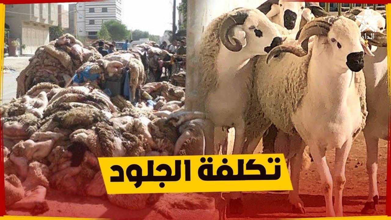 صورة جلود الأضاحي تكلف المغرب 7 مليار سنويا وهذه استراتيجية جديدة للاستفادة منها