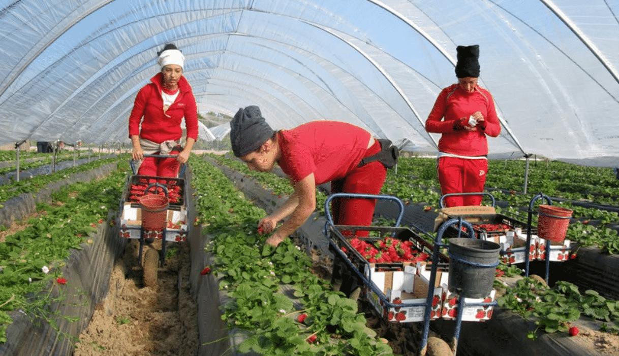 صورة هذه أسباب تأخر وصول دفعة ثانية من المغربيات إلى حقول الفراولة الإسبانية