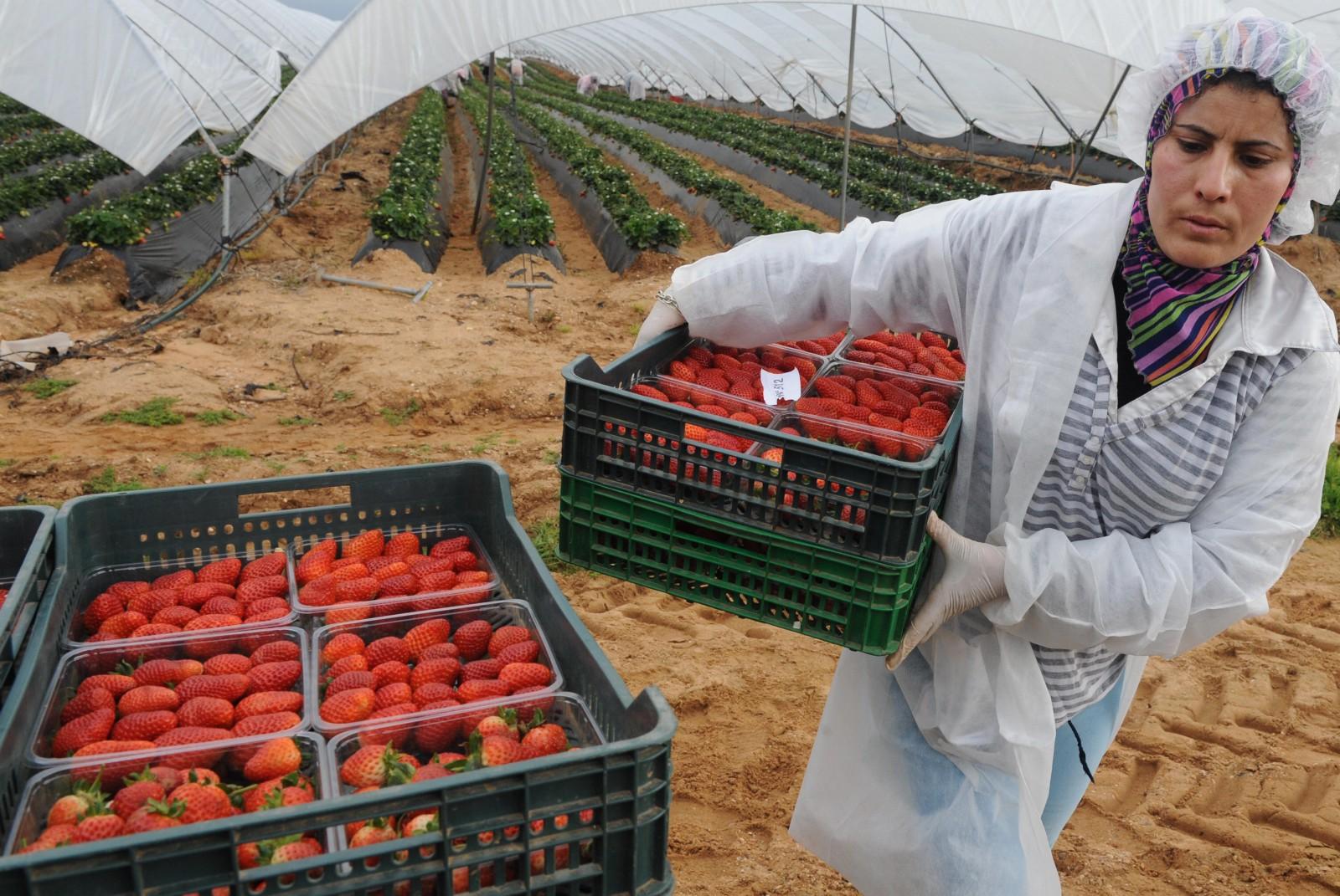 صورة 268 عقد عمل جديد للعاملات الموسميات المغربيات بحقول الفروالة