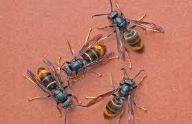 """صورة رصد زنبور آسيوي """"قاتل"""" للمرة الأولى على الأراضي الأميركية"""