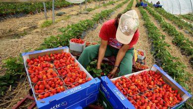 صورة لإنقاذ محاصيلها الزراعية…ايطاليا تستغيث بالمغرب وتجلب مئاتالعمال الزراعيين الموسميين