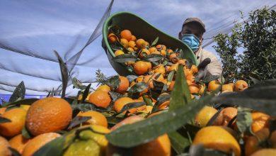 """صورة فرنسا تشيد بإنقاذ أزيد من 900 عامل مغربي لمحصول """"الكليمونتين"""" بجزيرة كورسيكا"""